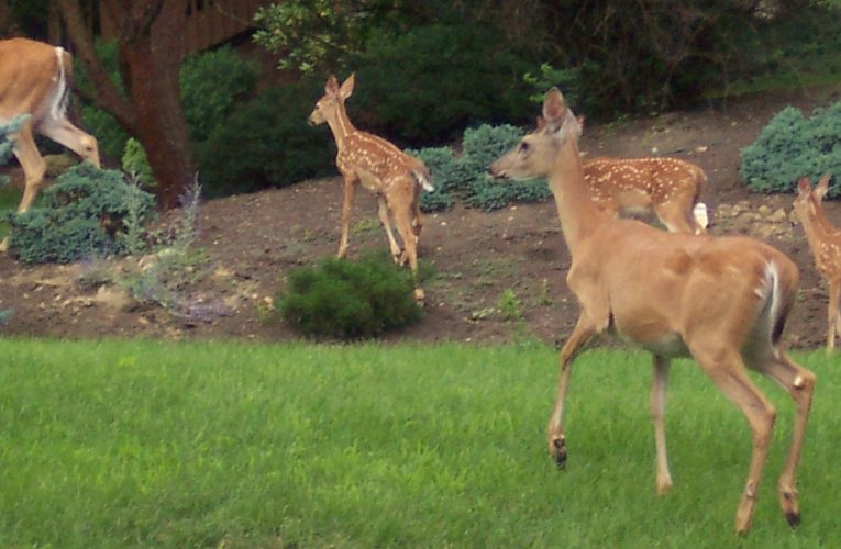 Tried These Homemade Deer Repellents Yet?